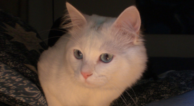 Gatto Bianco Carattere E Personalità