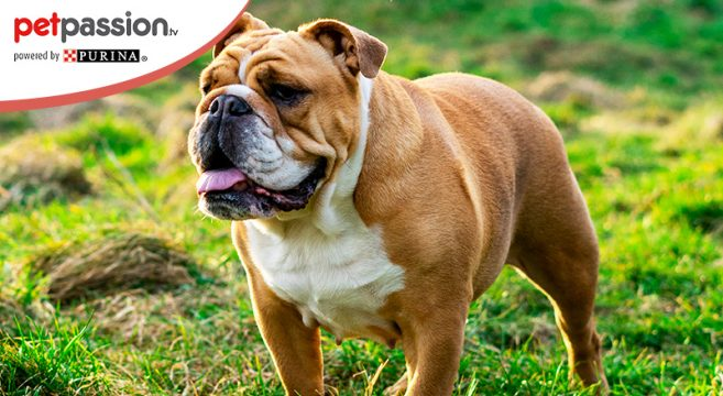 bulldog inglese cane