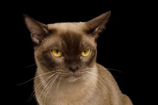 gatto birmano