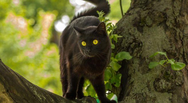 gatto bombay