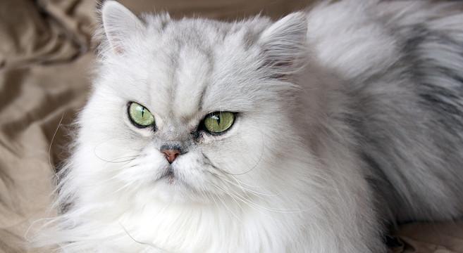 Gatti Di Razza Scopriamo Il Gatto Persiano