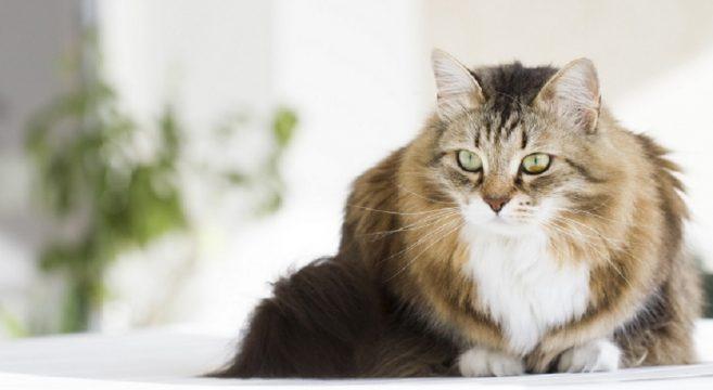 Il Carattere Del Gatto Siberiano Cosa Sapere Su Questa Razza