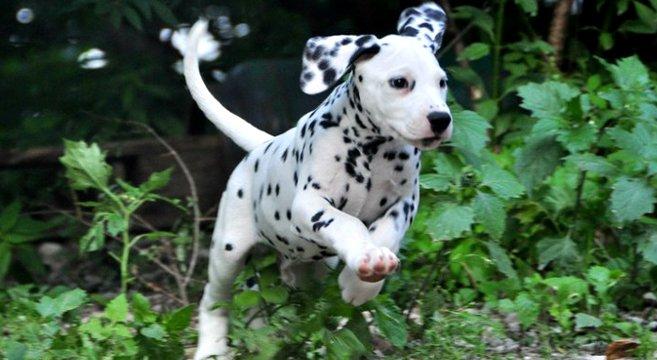 Il dalmata un cane dal mantello unico