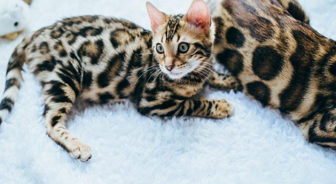 gatto bengalese