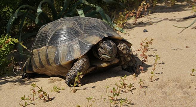 tartarughe di terra razze alimentazione e come allevarle