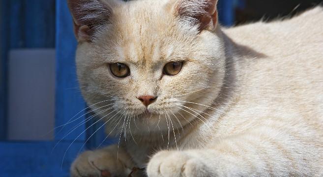 Gatti Di Razza Il Gatto British Shorthair