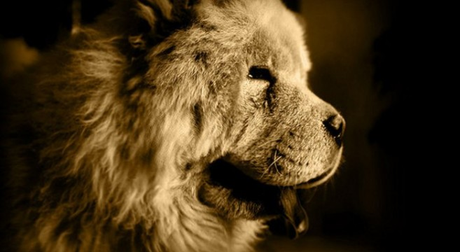 Cani Di Razza Il Chow Chow Detto Cane Leone