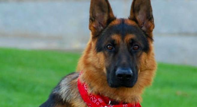 Cani Di Razza Il Pastore Tedesco O German Shepherd Dog