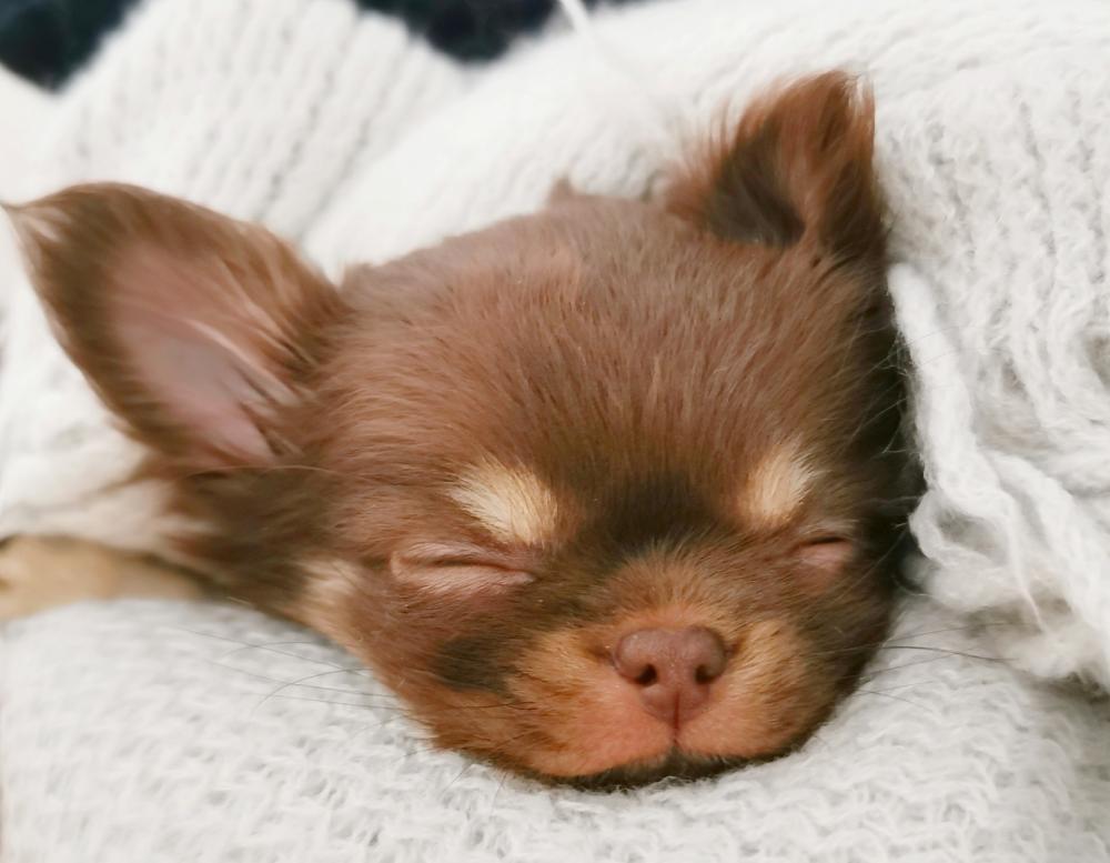 Chihuahua cucciolo