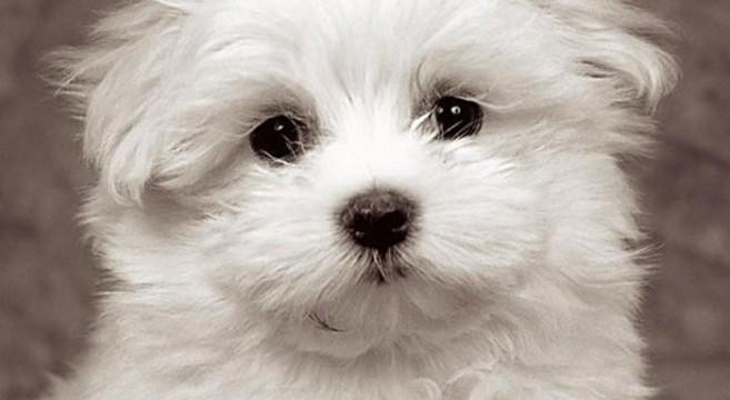 Cani Di Razza Carattere E Caratteristiche Del Maltese Toy Adulto