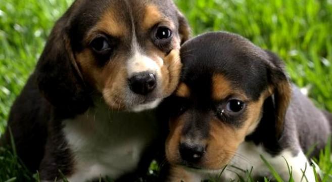 Cani Di Razzatutto Quello Che Devi Sapere Sul Beagle