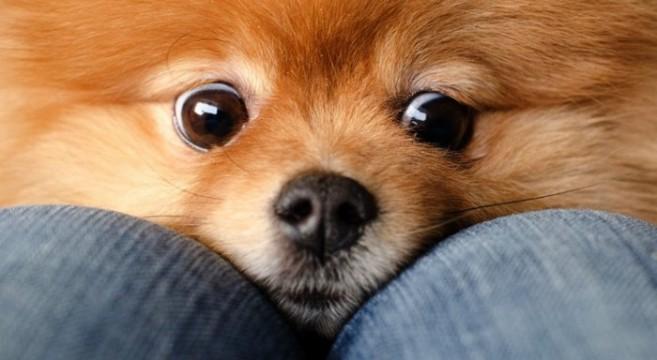Cani di razza volpino spitz tedesco for Cani pomerania