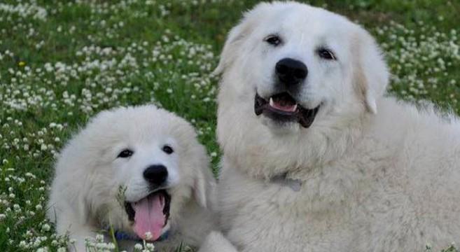 Cani Di Razza Pastore Maremmano Abruzzese Video