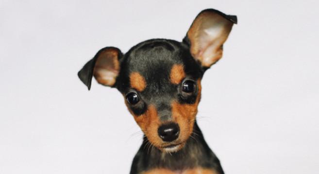 Pincher cane di razza e zwergpinscher o pinscher nano for Pinscher nero