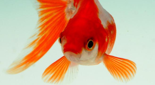 Pesci rossi golosoni come proteggerli dall 39 indigestione for Vasche esterne per pesci rossi