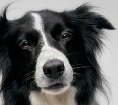 border collie pet therapy