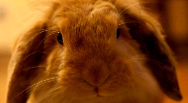 coniglio ariete: caratteristiche, alimentazione e dimensioni