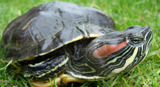 tartaruga d 39 acqua cosa devi sapere su questo animale esotico