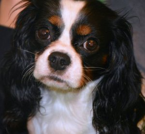 cavalier-king-community-blog-scheda