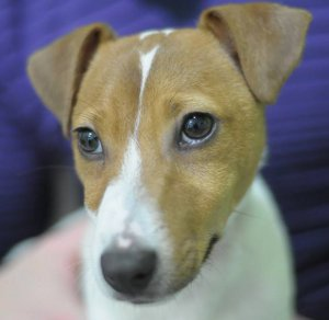 jack-russell-rio-community