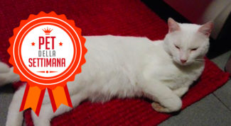 gatto bianco pet della settimana