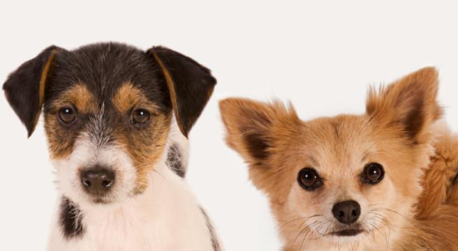 Cane di taglia piccola 5 cose da sapere su cibo e crocchette for Nomi per cagnolini di piccola taglia
