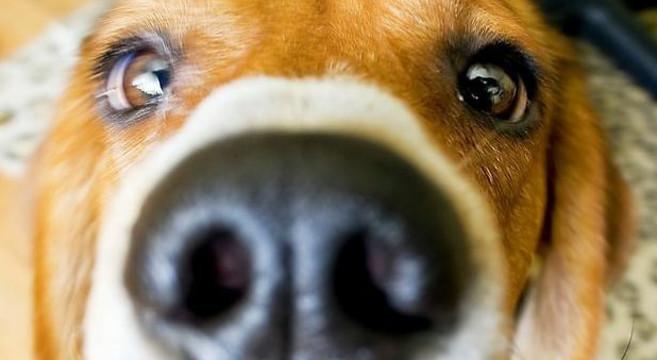 Sensi del cane
