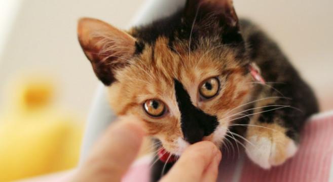 Gatti colorati e tricolore carattere e caratteristiche