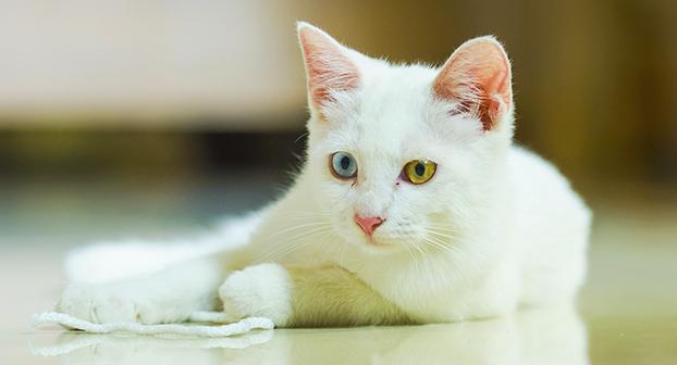 Gatto e colore degli occhi