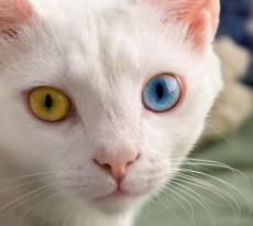 gatto-occhi-colore-diverso