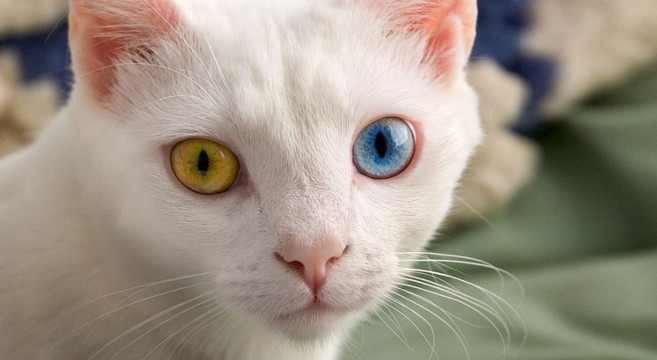 Gatti Con Occhi Di Colore Diverso