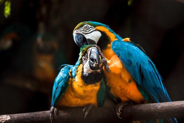 pappagalli-che-parlano