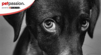 coprofagia cane