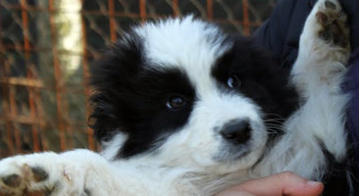 cucciolo-adozione