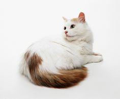 Gatto di razza Turco Van