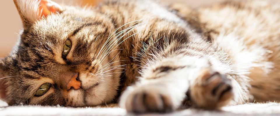 Le malattie dei gatti più comuni nella terza età