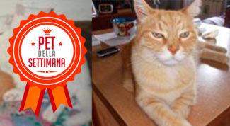 gatto rosso pet della settimana