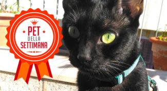 gatto nero pet della settimana