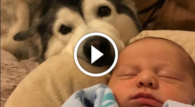 video-husky-babysitter