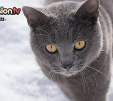 Gatti di razza Certosino