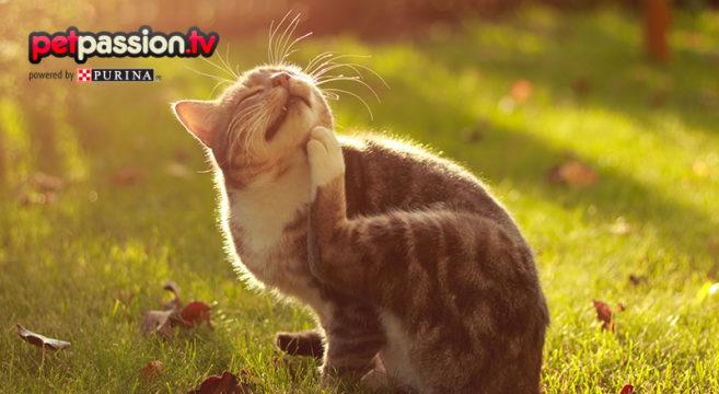 pulci gatto