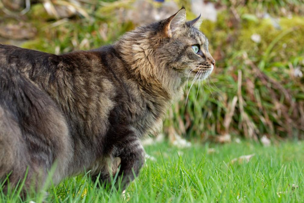 gatto-razza-maine-coon