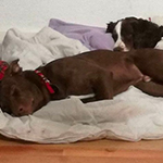 Max_cucciolo-adozione-lombardia