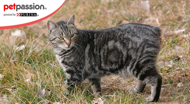 gatto isola di man