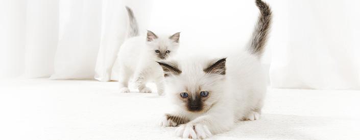 origini del gatto
