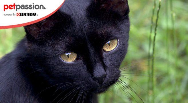 Gatto nero manto scuro