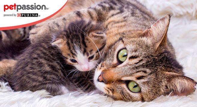 Cuccioli Di Gatto Il Ruolo Della Mamma Durante La Crescita Petpassion
