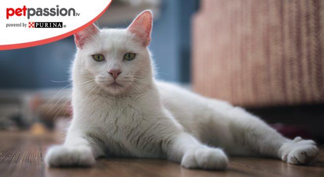 Gatto bianco razze