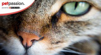 Olfatto e naso del gatto