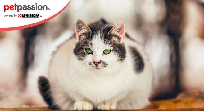gatto sovrappeso